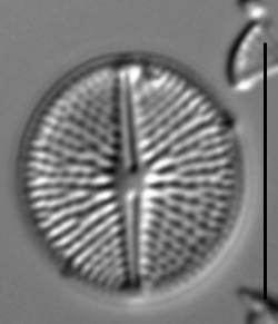 Cavinula pseudoscutiformis LM4