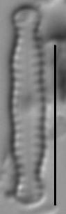 Chamaepinnularia soehrensis LM2