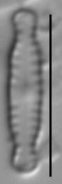 Chamaepinnularia soehrensis LM3
