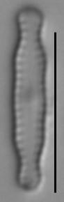Chamaepinnularia soehrensis LM1