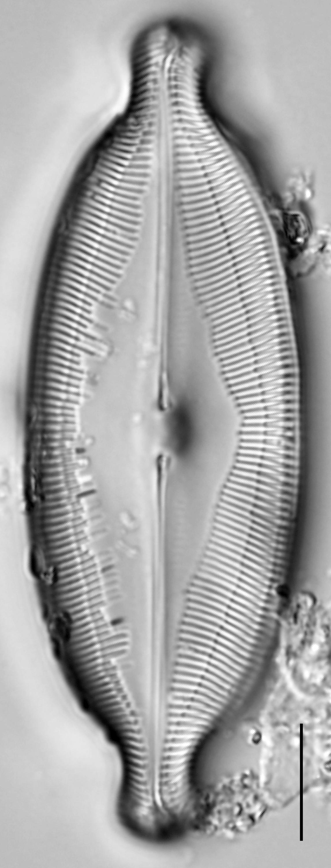 Caloneis Amphisbaena  Ill2014 037 2