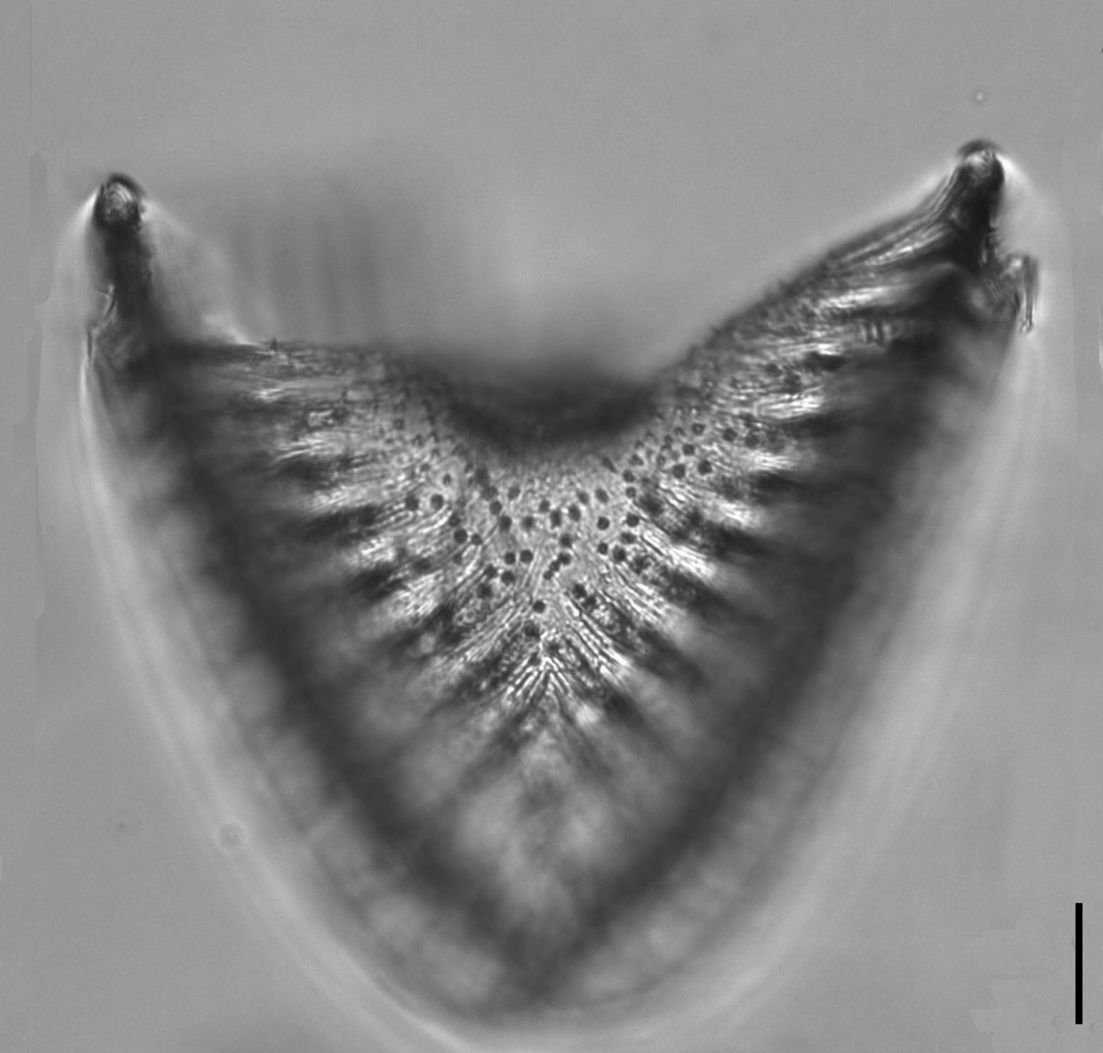 Campylodiscus2