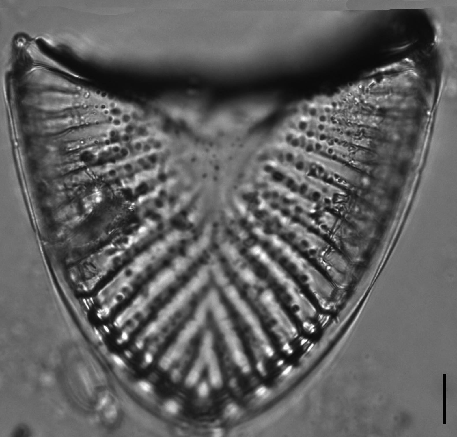 Campylodiscus6