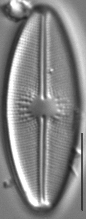 Cavinula davisiae LM2