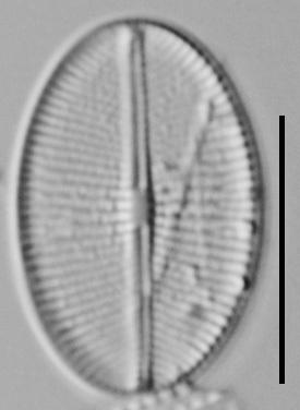 Cavinula Jaernefeltii Nh10003 A 041518 04 C