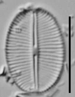 Cavinula Jaernefeltii Vt10003 V2 A 011018 10 C
