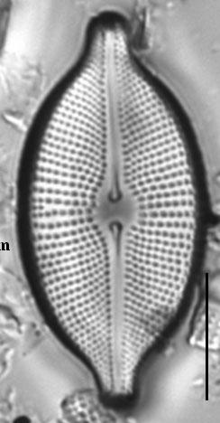 Cosmioneis citriformis LM6