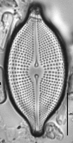 Cosmioneis citriformis LM3