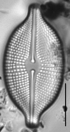 Cosmioneis citriformis LM2