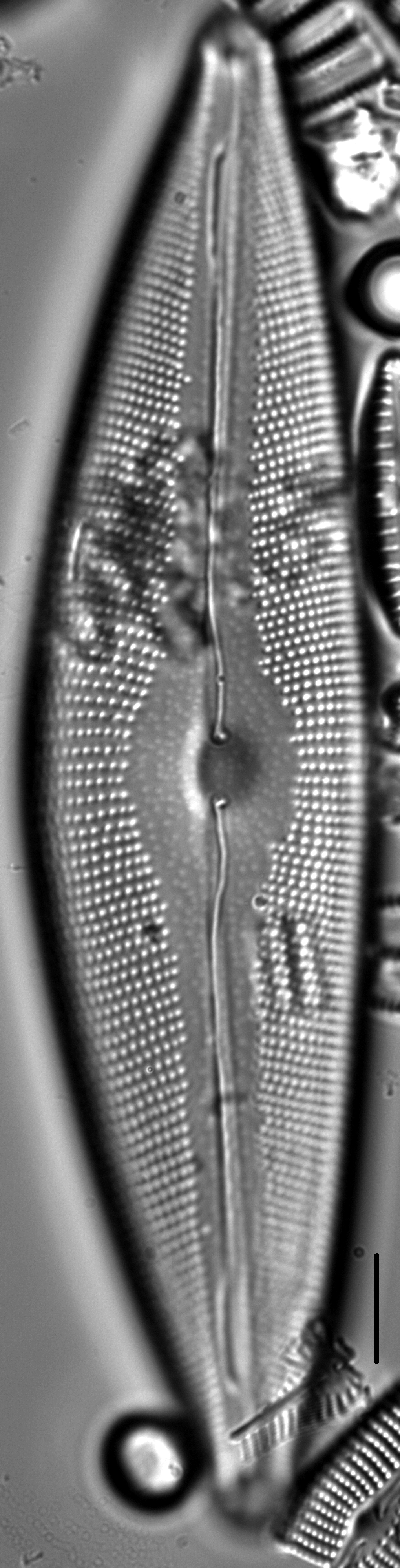 Cymbopleura crassipunctata LM1
