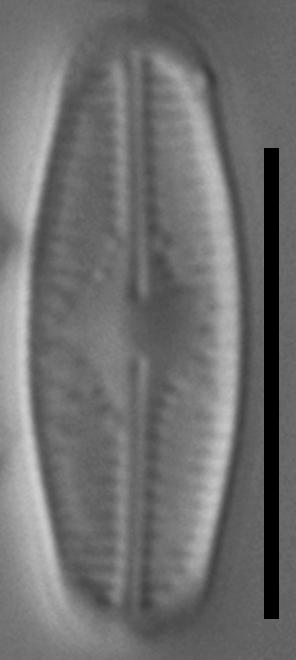 Chamaepinnularia witkowskii LM5