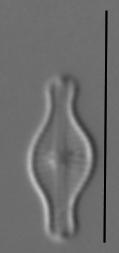 Chamaepinnularia Schmassmannii  Amphi Sl67A