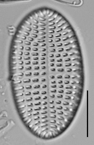 Cocconeis Cascadensis Lm02
