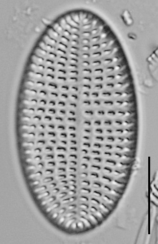 Cocconeis Cascadensis Lm04