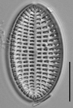 Cocconeis Cascadensis Lm05