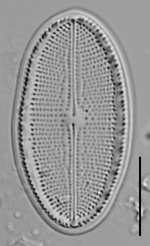Cocconeis Cascadensis Lm07