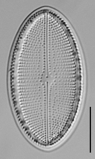Cocconeis Cascadensis Lm08