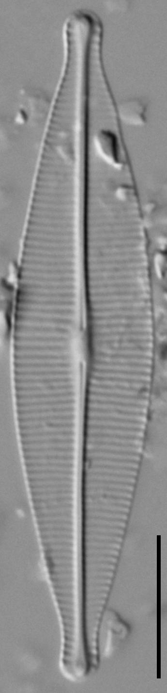 Craticula riparia LM2