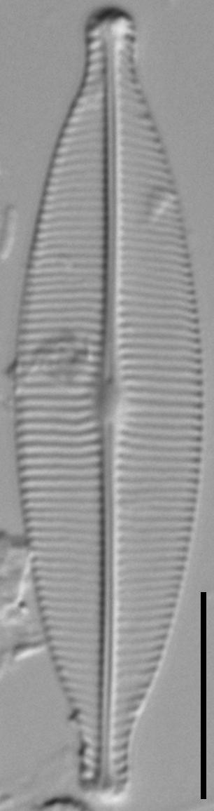 Craticula riparia LM7