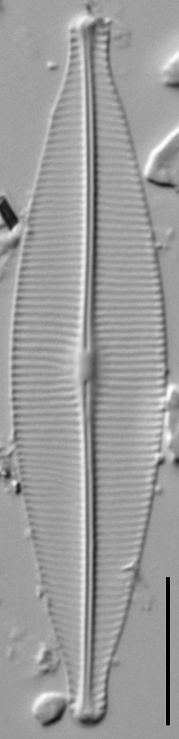 Craticula riparia LM1