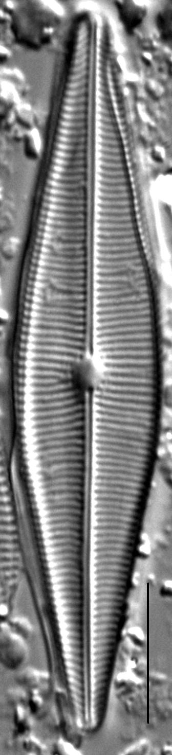 Crathalophila1