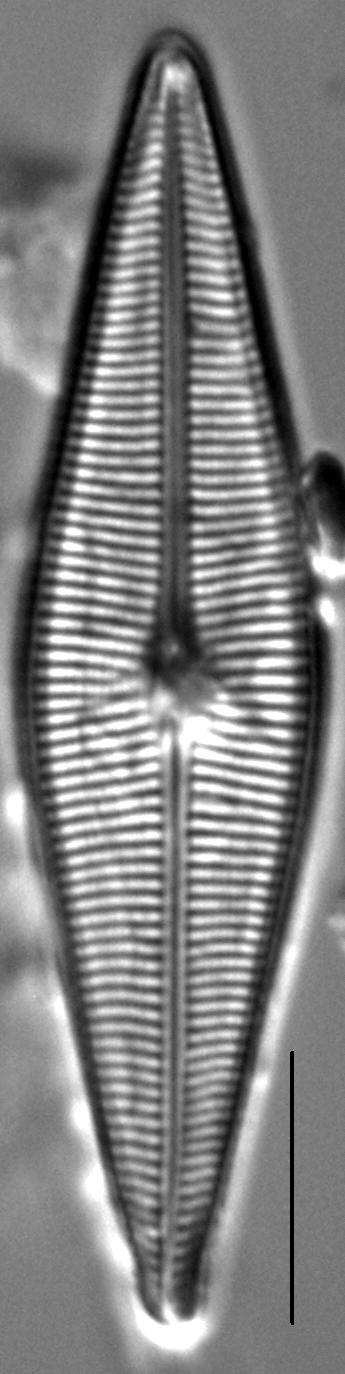 Crathalophila3