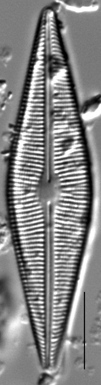 Crathalophila4