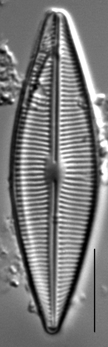 Crathalophila6