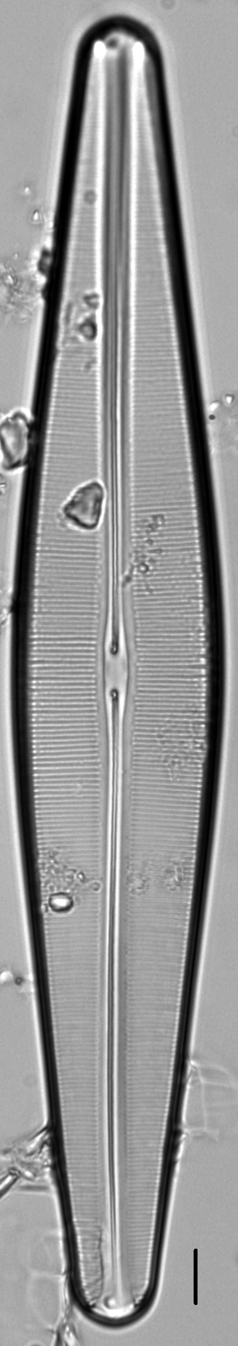 Craticula pampeana LM4