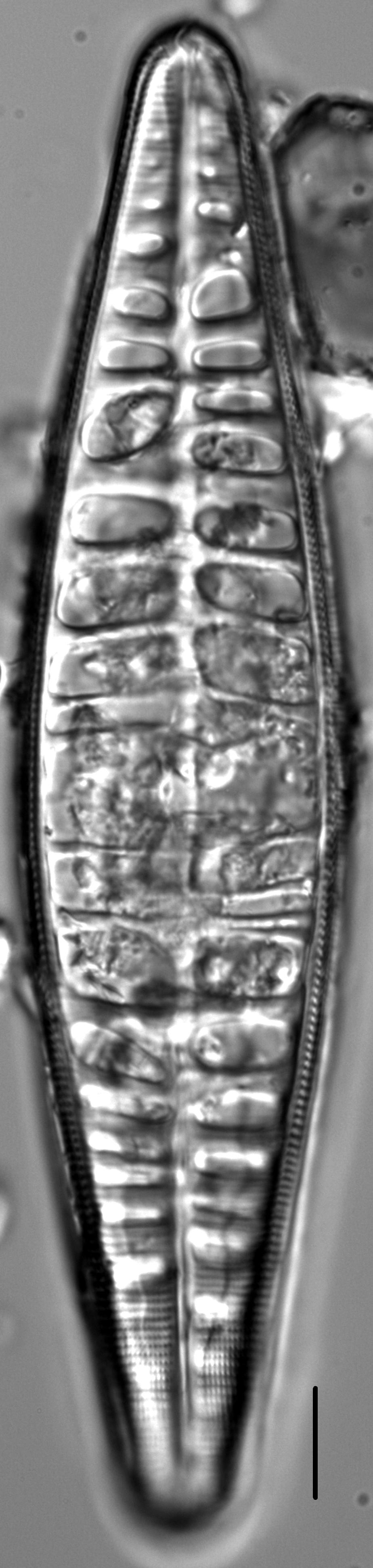 Craticula pampeana LM5
