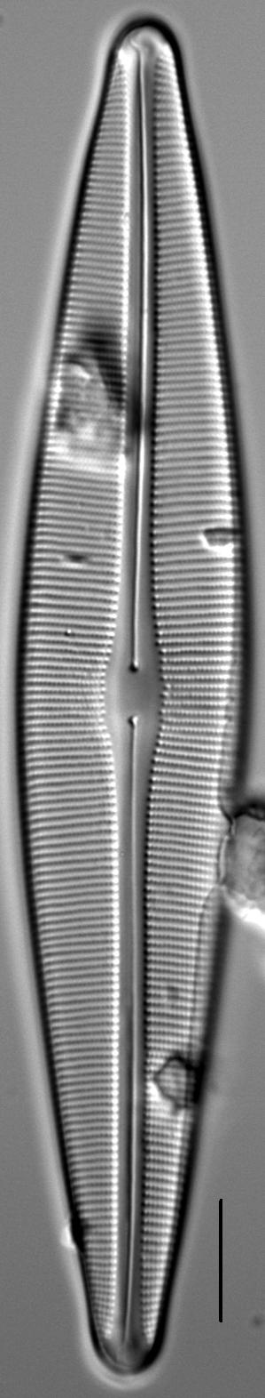 Craticula sardiniana LM1
