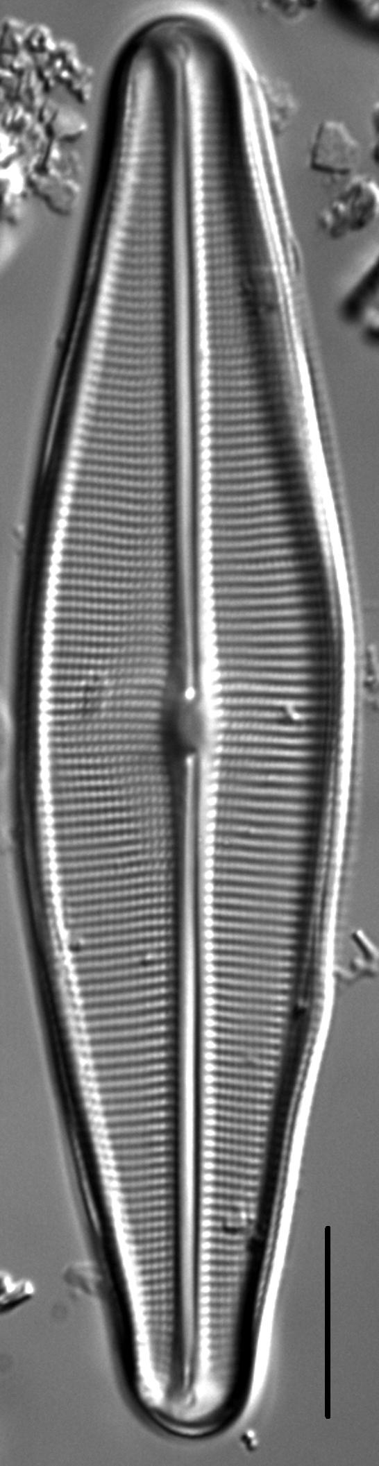 Craticula sardiniana LM4