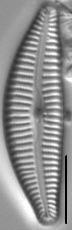 Cymbella Rumrichae 409901