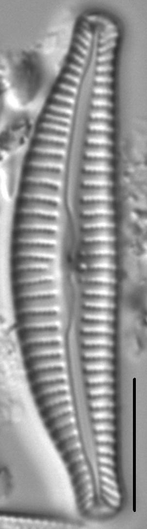 Cymbella Rumrichae 4546 2