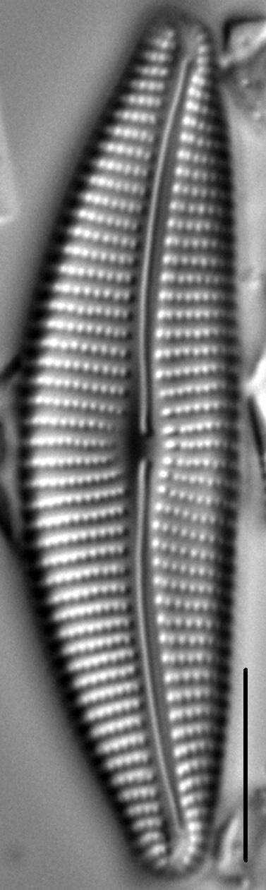 Cymbella Compacta7