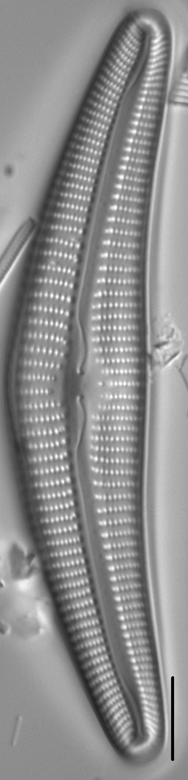 Cymbella Cymbiformis 439301 2