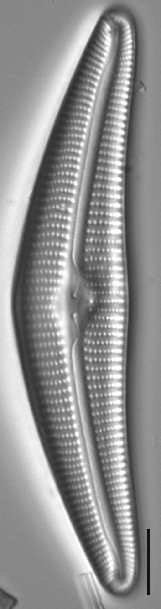 Cymbella Cymbiformis 439301 3
