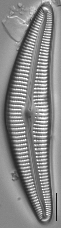 Cymbella Cymbiformis 439301 4