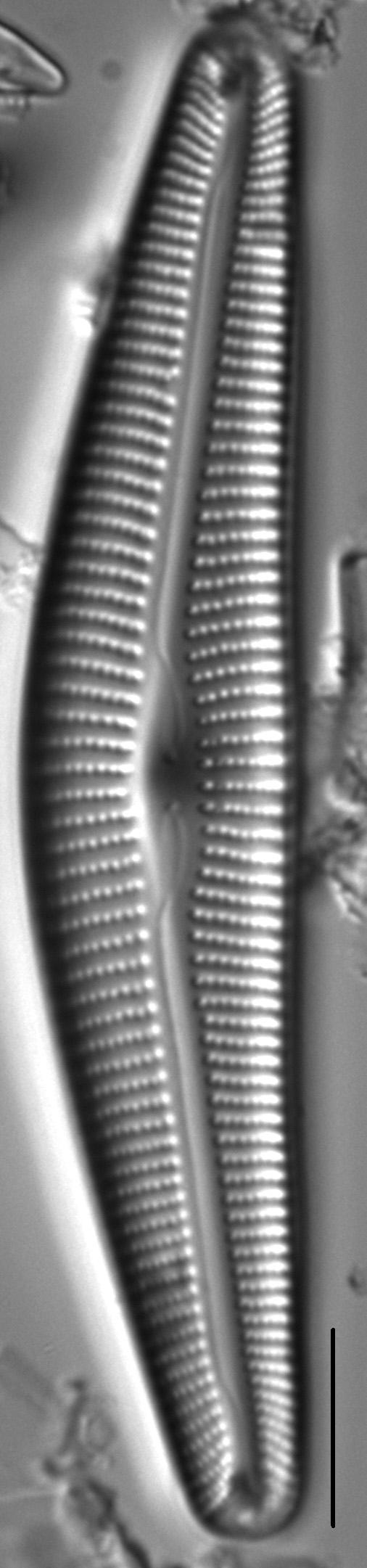 Cymbella maggiana LM1
