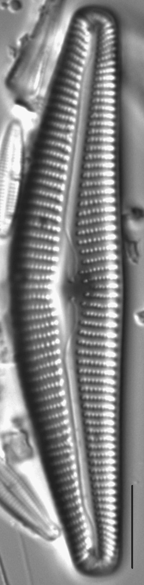Cymbella maggiana LM3