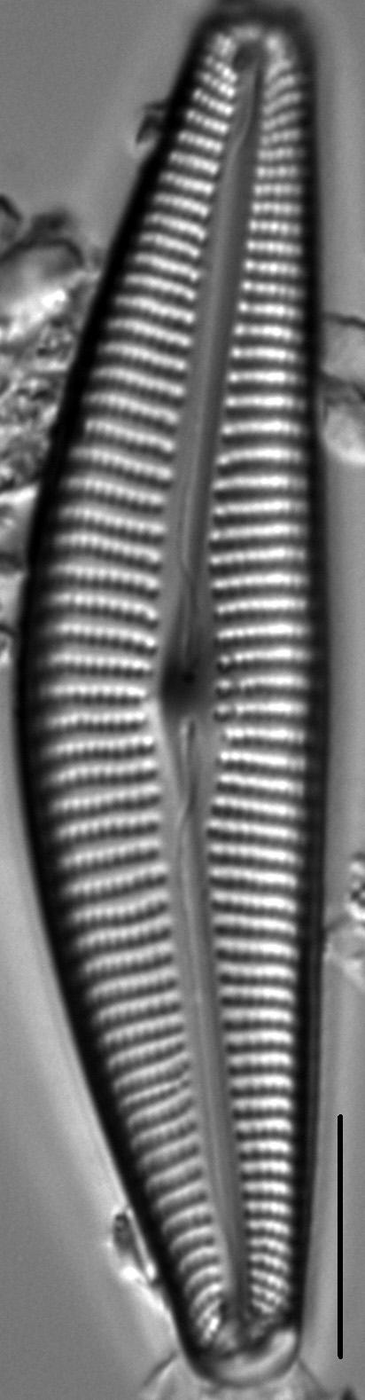 Cymbella maggiana LM5