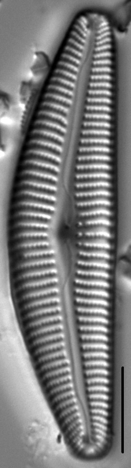 Cymbella maggiana LM6