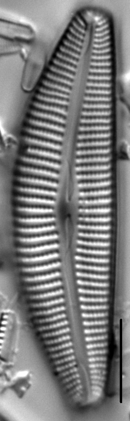 Cymbella maggiana LM7