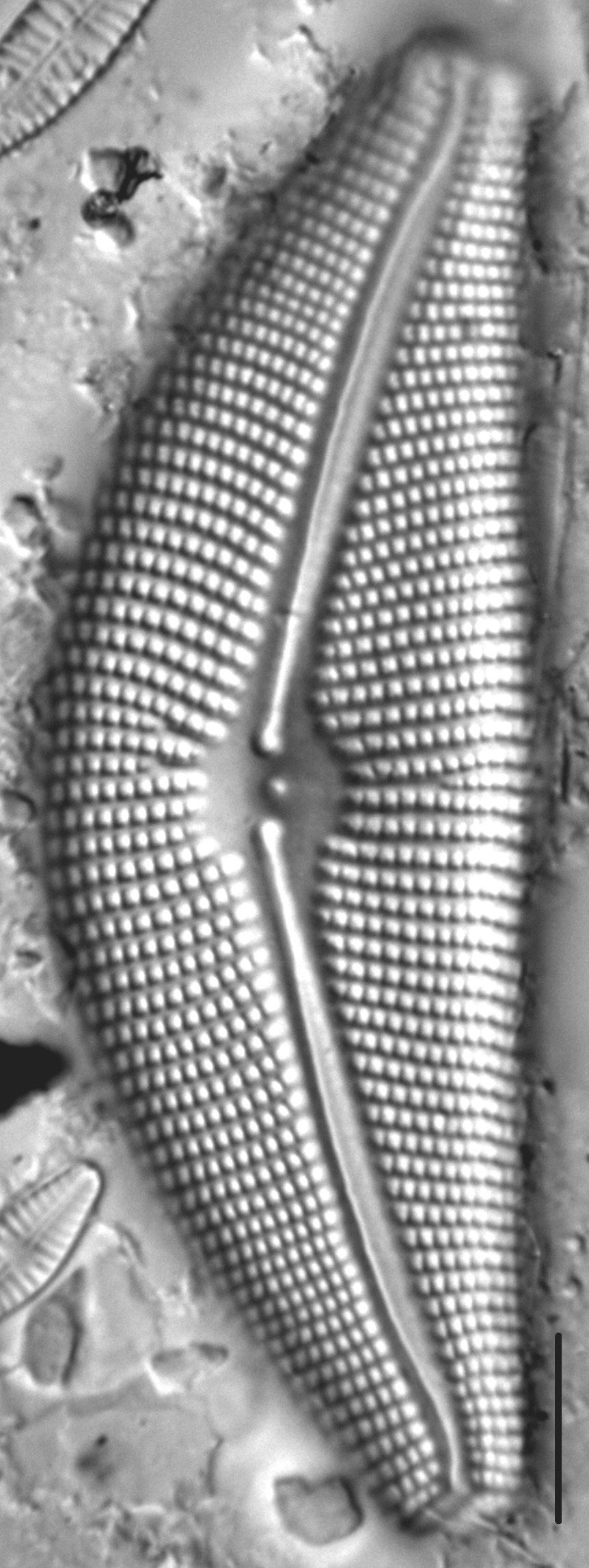 Cymbella Mexicana Kamtschatica2