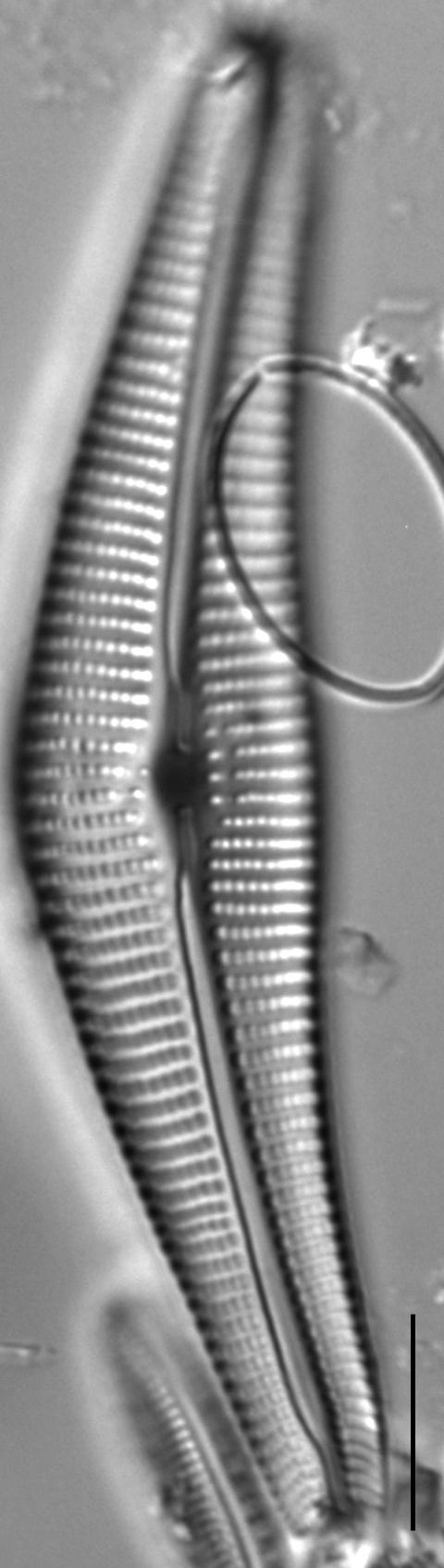 Cymbella Neocistula  L 4 33 1