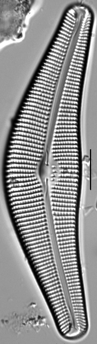 Cymbella Neocistula Islandica2