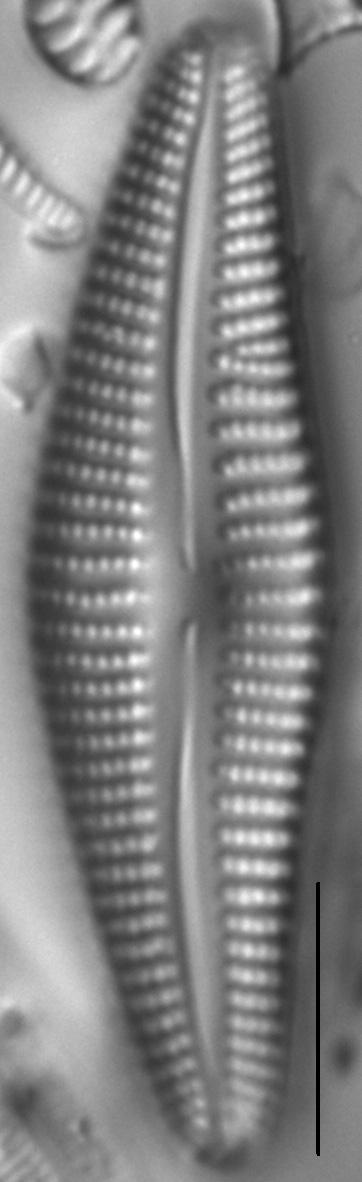 Cymbella Neoleptoceros1