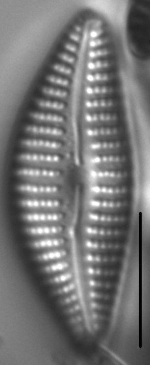 Cymbella Neoleptoceros3