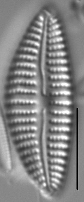 Cymbella Neoleptoceros6