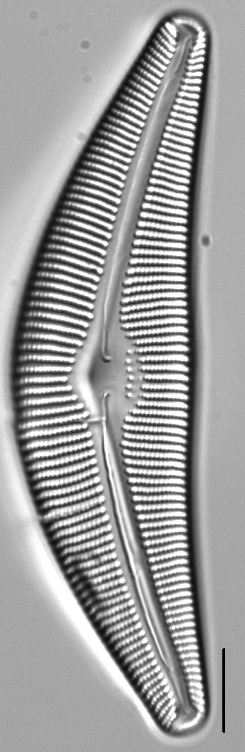Cymbella perfossilis LM3